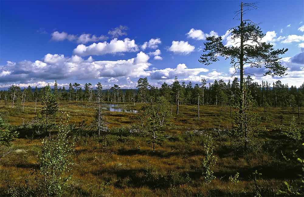 La foresta boreale svedese e la torbiera in veste estiva.