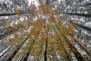 TheoBosboom_Beech in coniferous forest