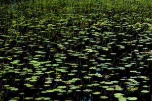 TheoBosboom_Water-lilies